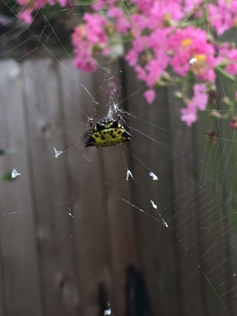 Orbit web spider